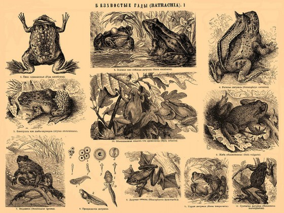 Brockhaus-and-Efron-Encyclopedic-Dictionary_b5_320-1_Froschlurche_wikicommons-PD-Brockhaus-Efron-PD-RusEmpire